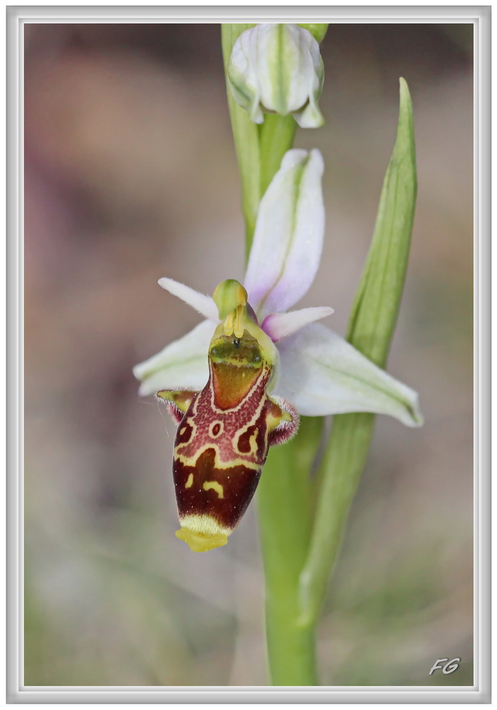 Ophrys corbariensis Ophrys57