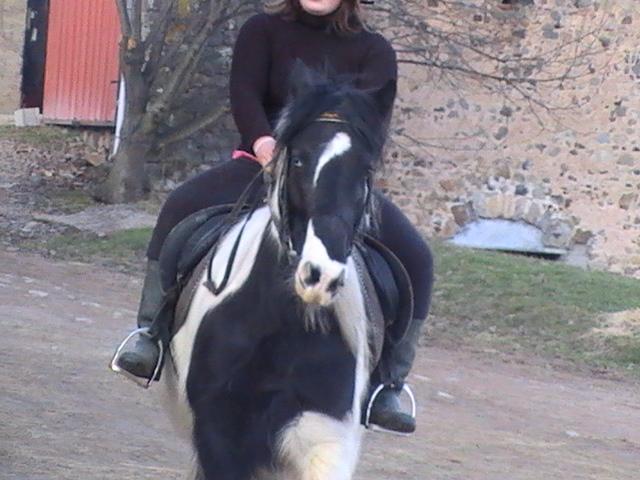 les frisons de patricia elevage de chevaux frisons et irish-cobs Steven12