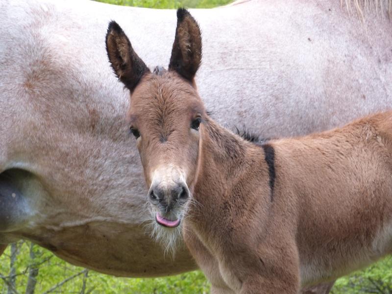 un mulet, une mule, est ce que vous connaissez ces adorables petites boules de poils? P1030111