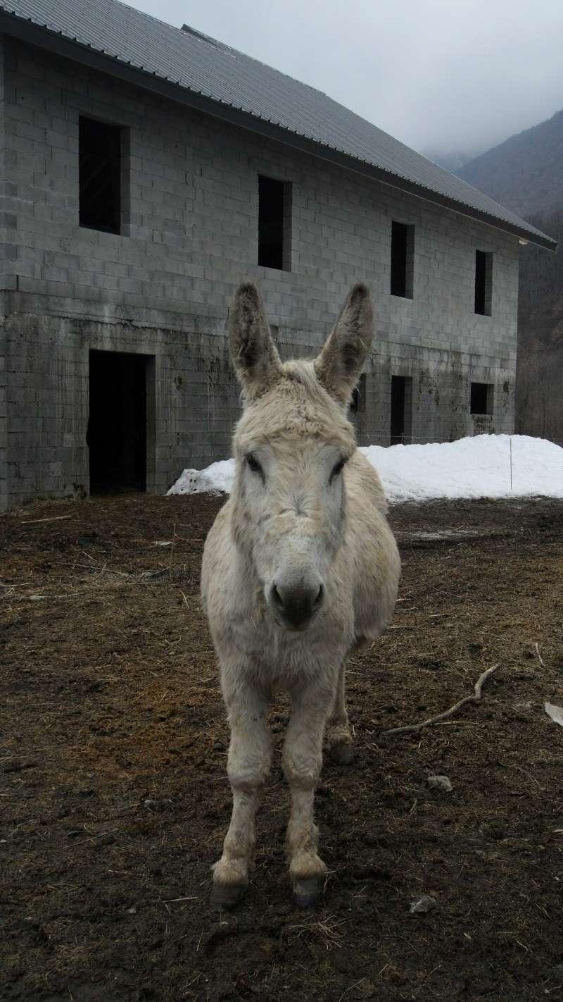 un mulet, une mule, est ce que vous connaissez ces adorables petites boules de poils? Sam_2610
