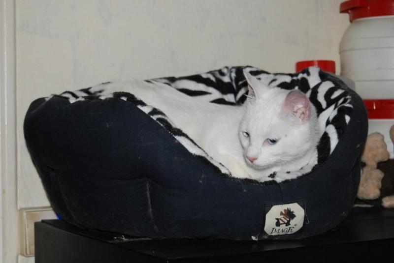 Haeleen née en août 2012 - Croisée siamoise blanche  29913910
