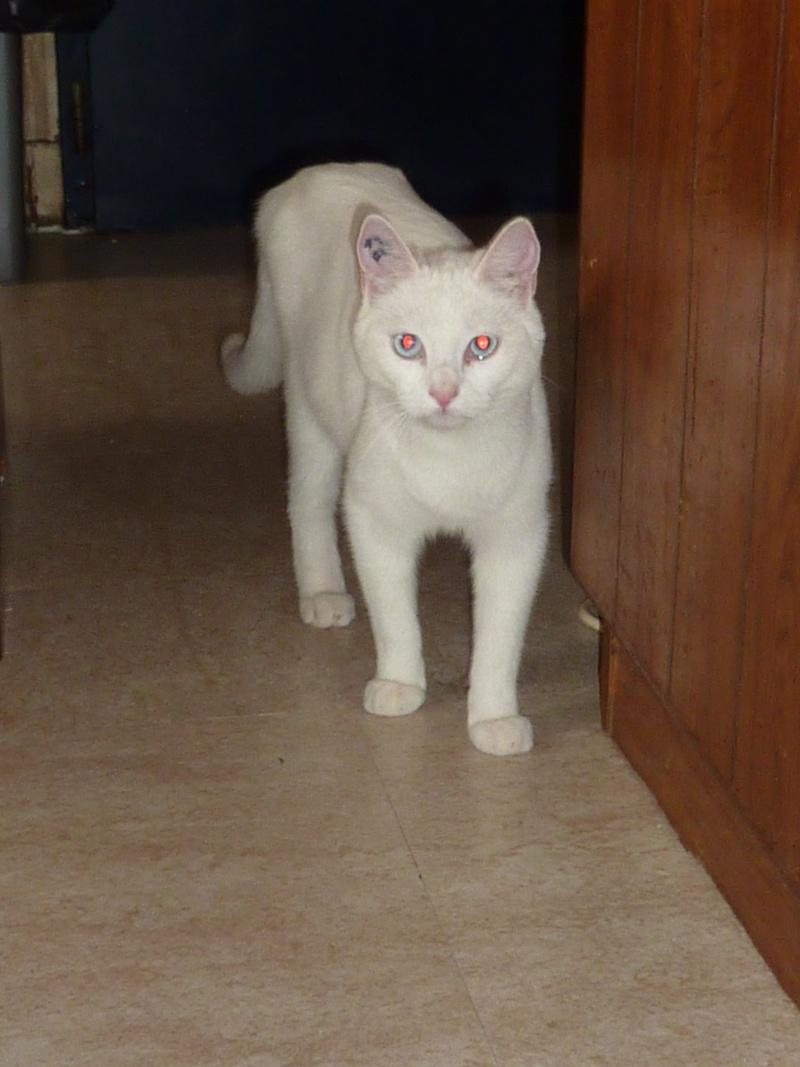 Haeleen née en août 2012 - Croisée siamoise blanche  Photo_13