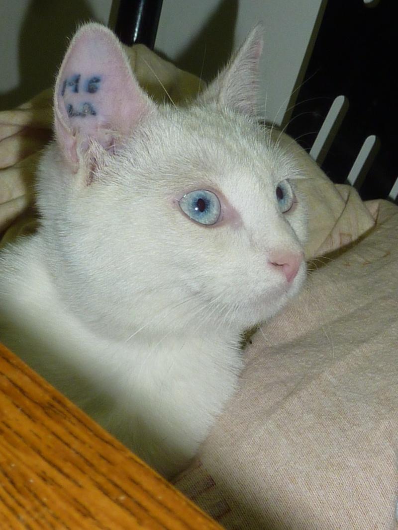 Haeleen née en août 2012 - Croisée siamoise blanche  Photo_14