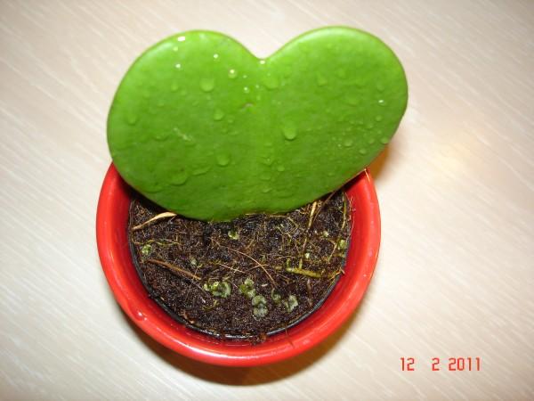 Hoya kerrii  Dsc04719