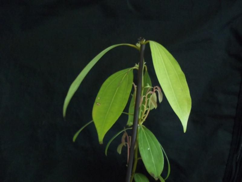 Semis de Cinnamomum verum - Page 4 100_1314