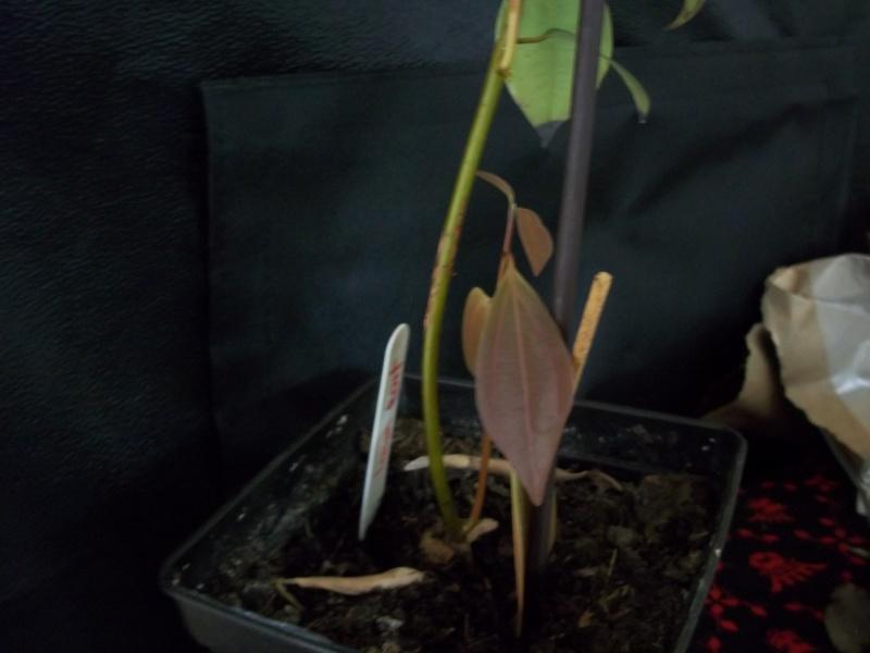 Semis de Cinnamomum verum - Page 4 100_1315