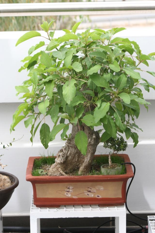 Please identify my tree. (Phytolacca dioica - Ombu as identified by David B.) Img_4811