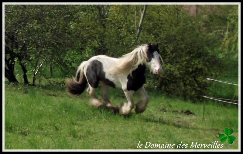 Cillbarra Léo, hongre Irish Cob au Domaine des Merveilles - Page 3 30-04-16