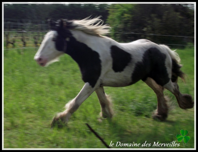 Cillbarra Léo, hongre Irish Cob au Domaine des Merveilles - Page 3 30-04-24