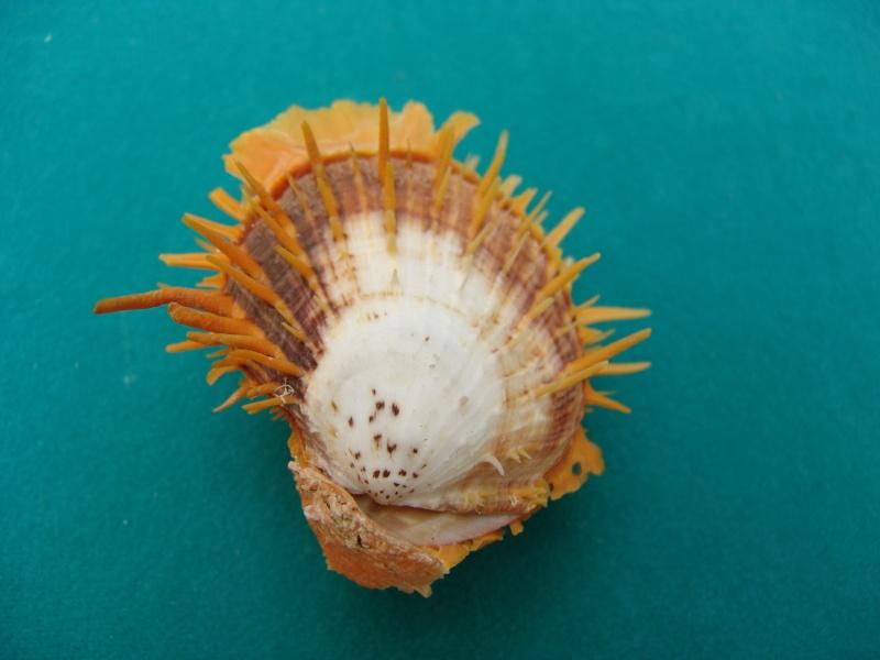 Spondylus butleri - Reeve, 1856 02b10