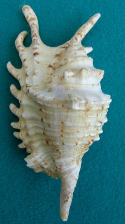 Strombidae Ophioglossolambis violacea - (Swainson, 1821) Violac14