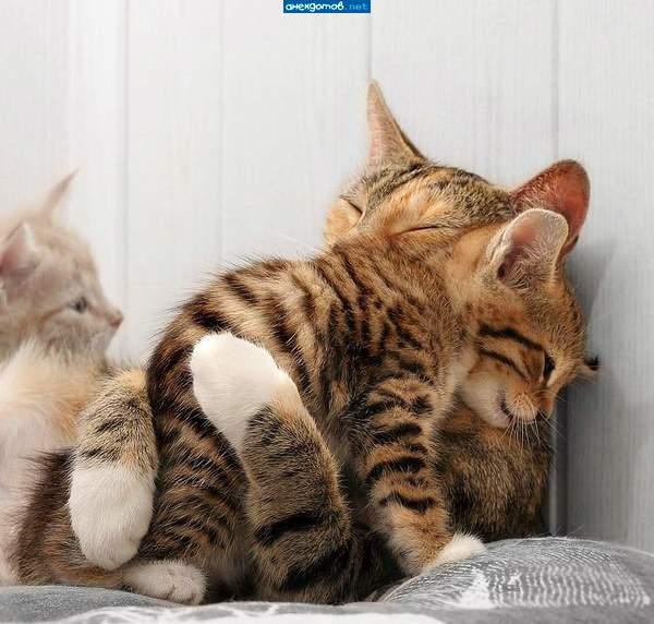 Кошки (Cats) Dsdndu10