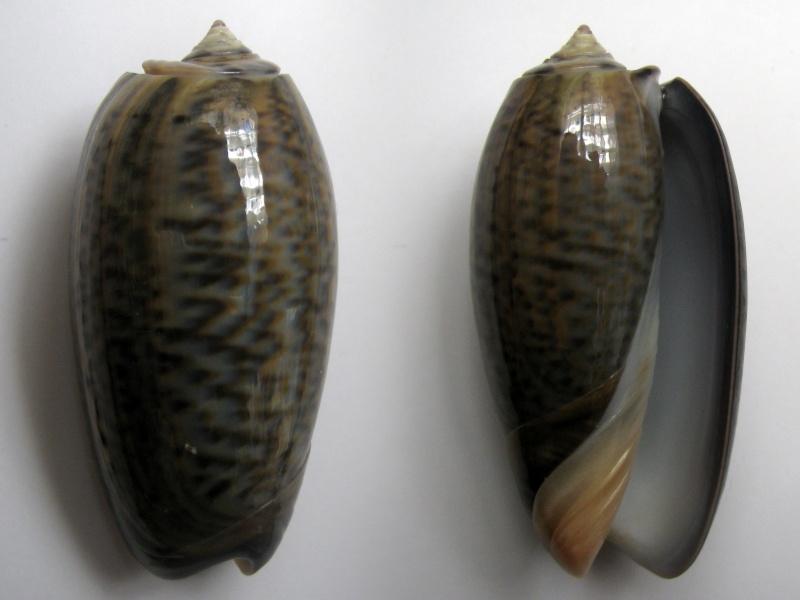 Viduoliva elegans (Lamarck, 1811) Img_6212