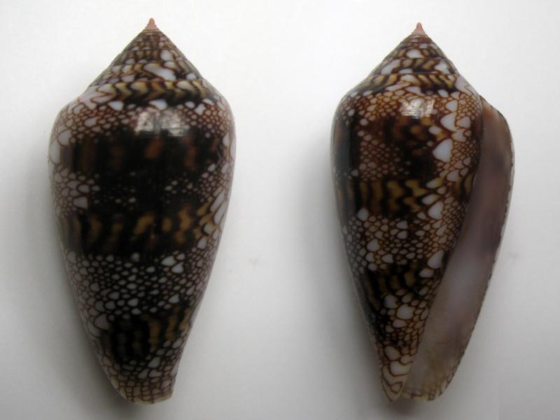 Conus (Cylinder) canonicus textilinus   Kiener, 1845  Img_6311