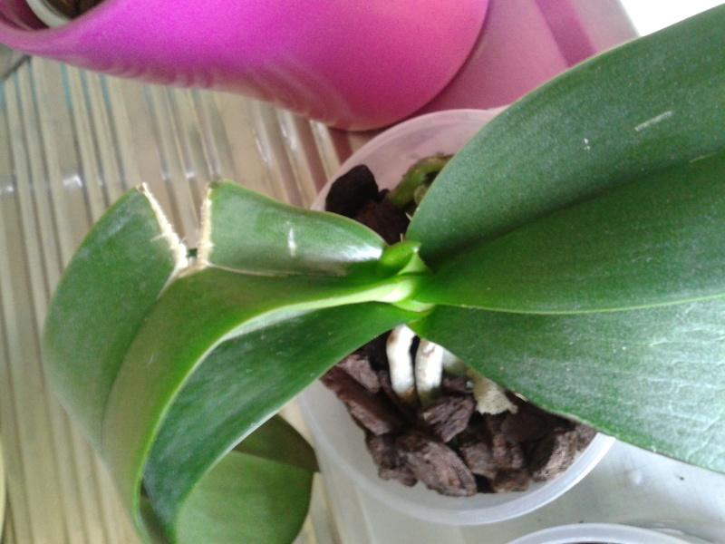 Mon nouveau phalaenopsis - Page 6 20130412