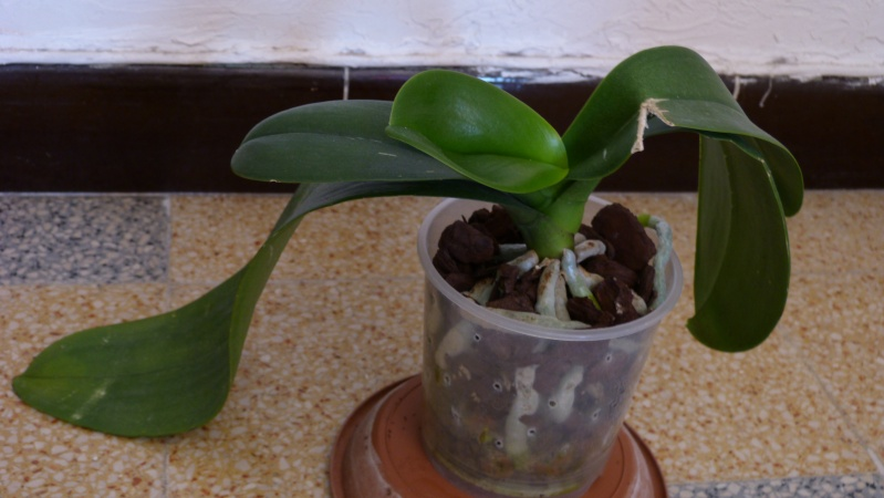 Mon nouveau phalaenopsis - Page 7 P1080613