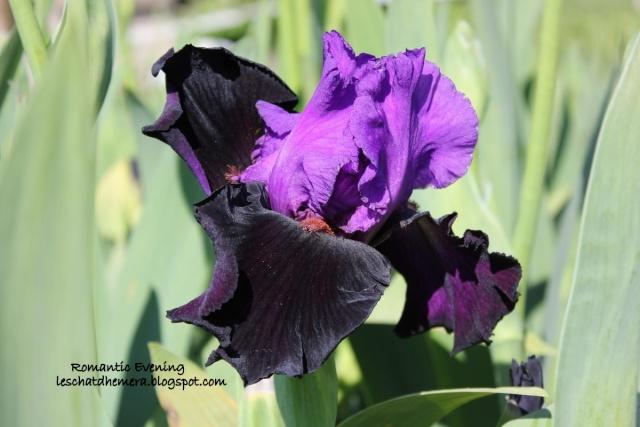 Floraisons de nos Iris barbus 2013 05_mai11