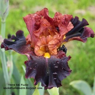 Floraisons de nos Iris barbus 2013 - Page 2 09_mai12