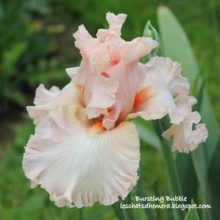Floraisons de nos Iris barbus 2013 - Page 2 09_mai13