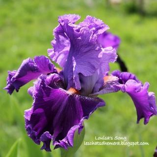 Floraisons de nos Iris barbus 2013 - Page 2 10_mai10