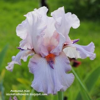 Floraisons de nos Iris barbus 2013 - Page 2 10_mai11