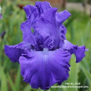 Floraisons de nos Iris barbus 2013 - Page 2 11_mai10