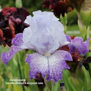 Floraisons de nos Iris barbus 2013 - Page 3 13_mai10