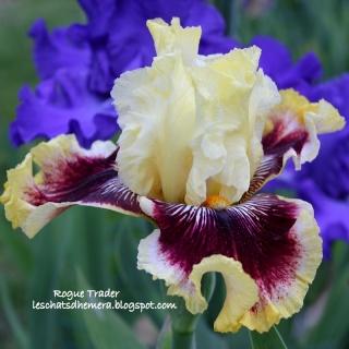 Floraisons de nos Iris barbus 2013 - Page 3 14_mai11