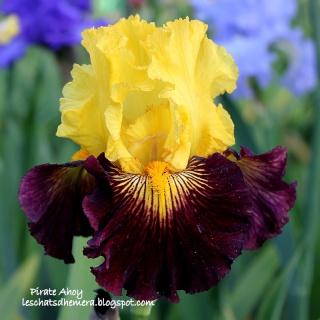 Floraisons de nos Iris barbus 2013 - Page 3 17_mai11