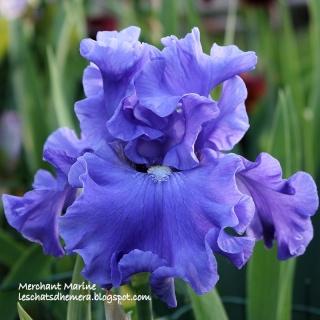 Floraisons de nos Iris barbus 2013 - Page 3 17_mai12