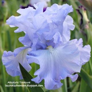 Floraisons de nos Iris barbus 2013 - Page 3 17_mai13
