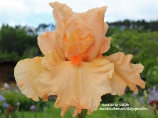 Floraisons de nos Iris barbus 2013 - Page 3 20_mai11