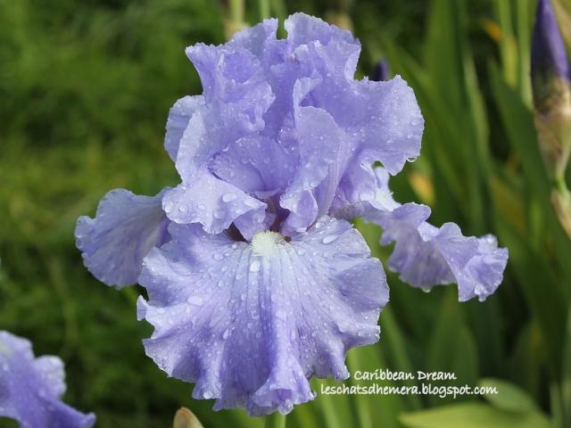 Floraisons de nos Iris barbus 2013 - Page 6 28_mai10