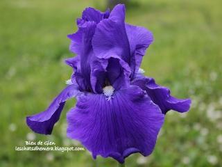 Floraisons de nos Iris barbus 2013 - Page 7 Bleu_d10