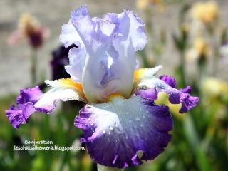 Floraisons de nos Iris barbus 2013 - Page 7 Conjur11