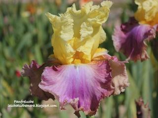 Floraisons de nos Iris barbus 2013 - Page 7 Fanfre11