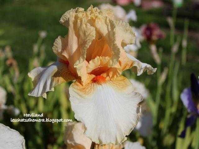 Floraisons de nos Iris barbus 2013 - Page 8 Havila10