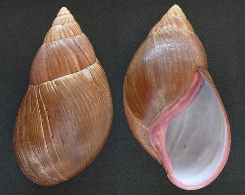 Achatina glutinosa L. Pfeiffer, 1854 Achati14