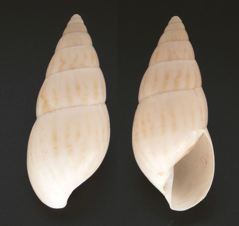 Limicolaria aurora Jay, 1839 L_auro10