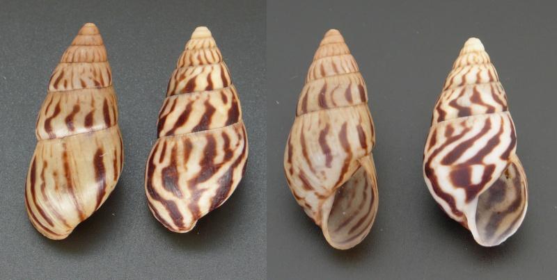 Limicolaria felina Shuttleworth, 1852 L_feli11