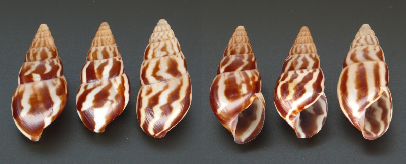 Limicolaria felina Shuttleworth, 1852 L_feli12
