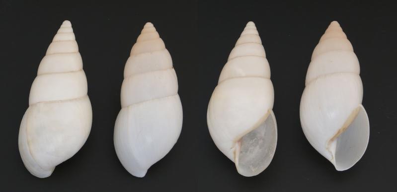 Limicolaria flammea unicolor (Kobelt, 1880) L_flam10