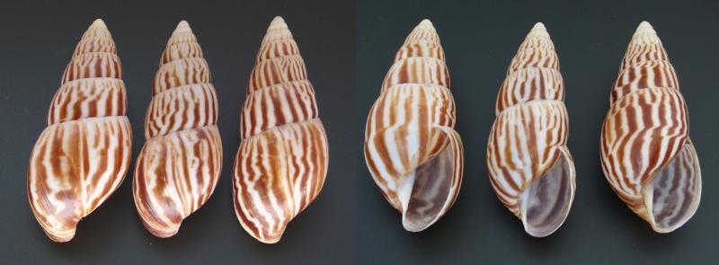 Limicolaria flammea (Müller, 1774) L_flam11