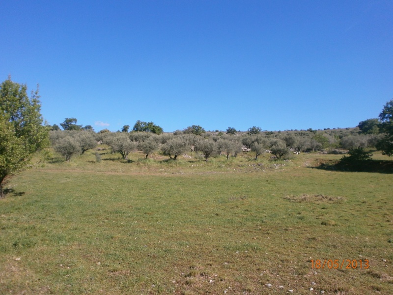 Mes oliviers . Olivie10