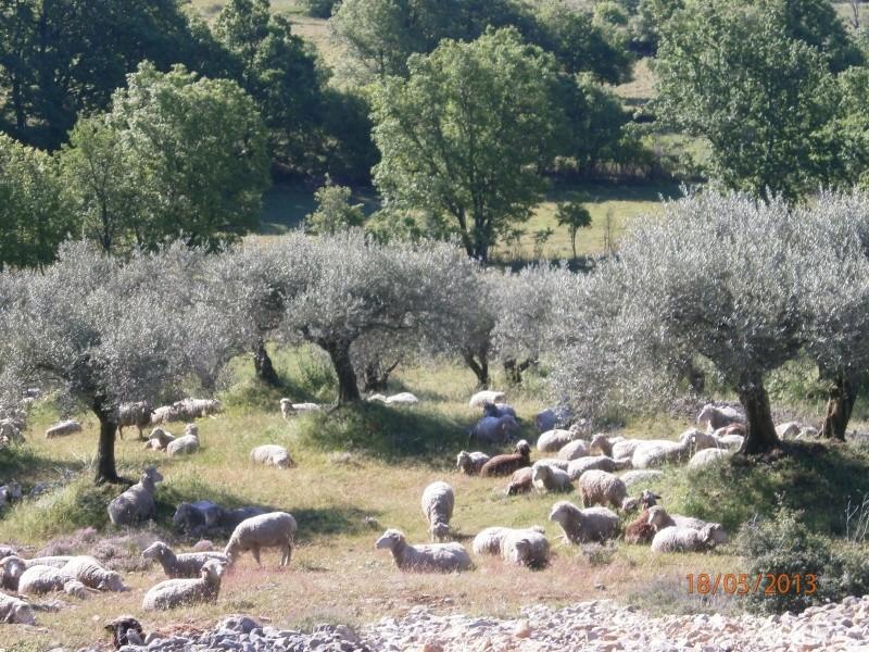 Mes oliviers . Olivie11