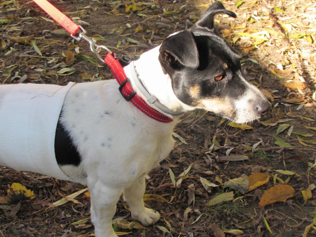 MINIE x terrier jack russel 02221