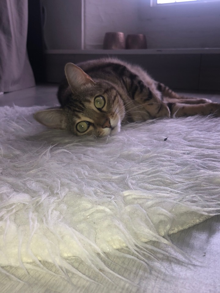 PERDUE CHATTE TIGREE à CHARLY sur MARNE 70166510