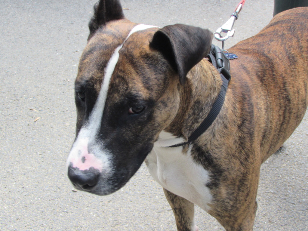 RILEY.Mâle Boxer x Bull terrier de 2015 Riley_10