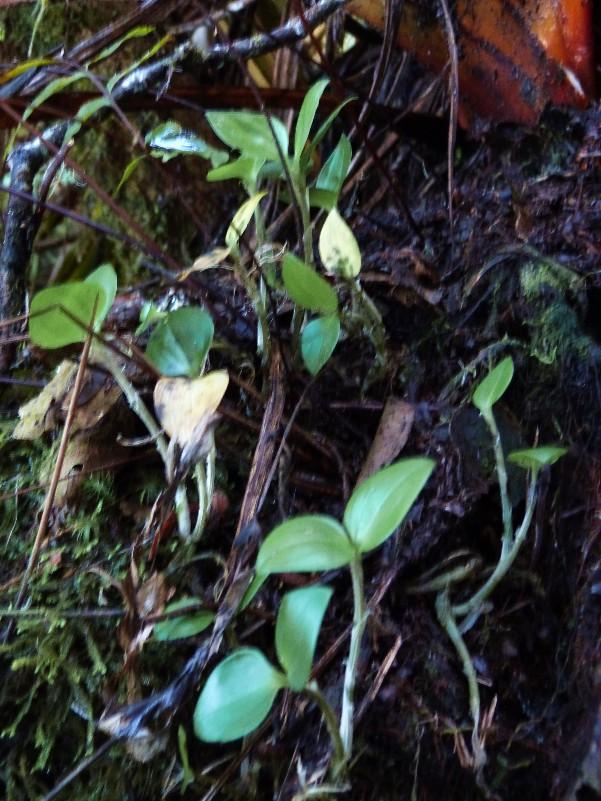 liparis bernieri: la plante 011110