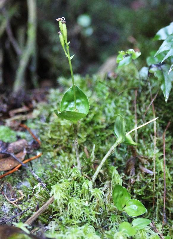 liparis bernieri: la plante 015110